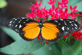 butterfly oranssi